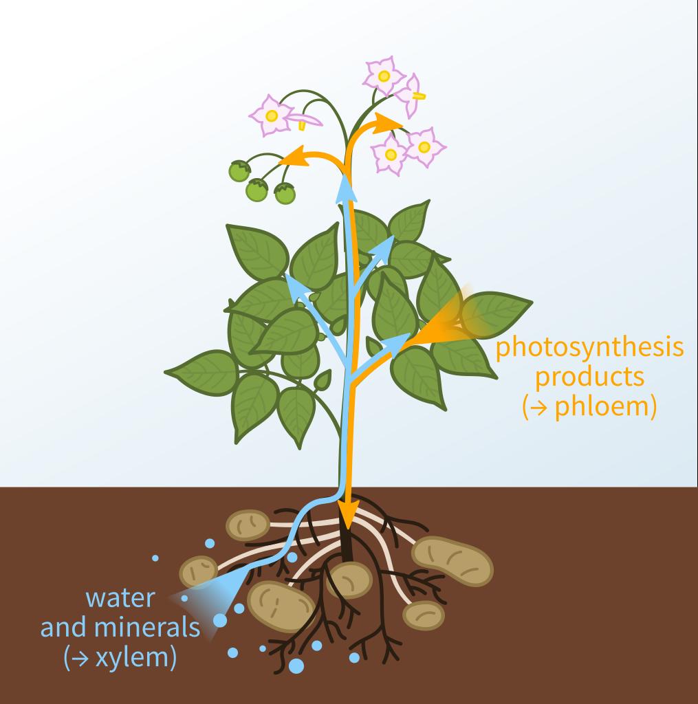 Mineral Transportation in Plants