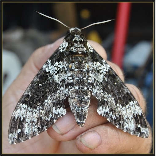 A moth when its wings are folded