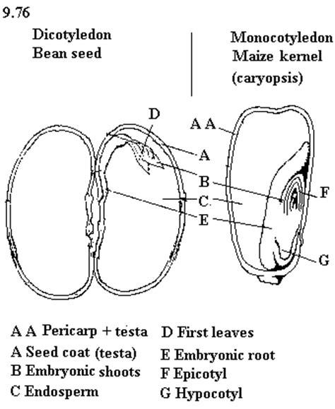 Dicotyleadon and Monocotyledon seeds - Endosperm