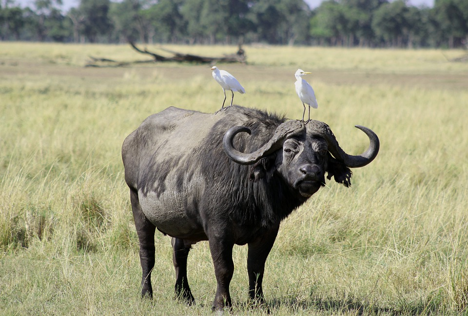 Great Egret & Buffalo - Commensalism Example