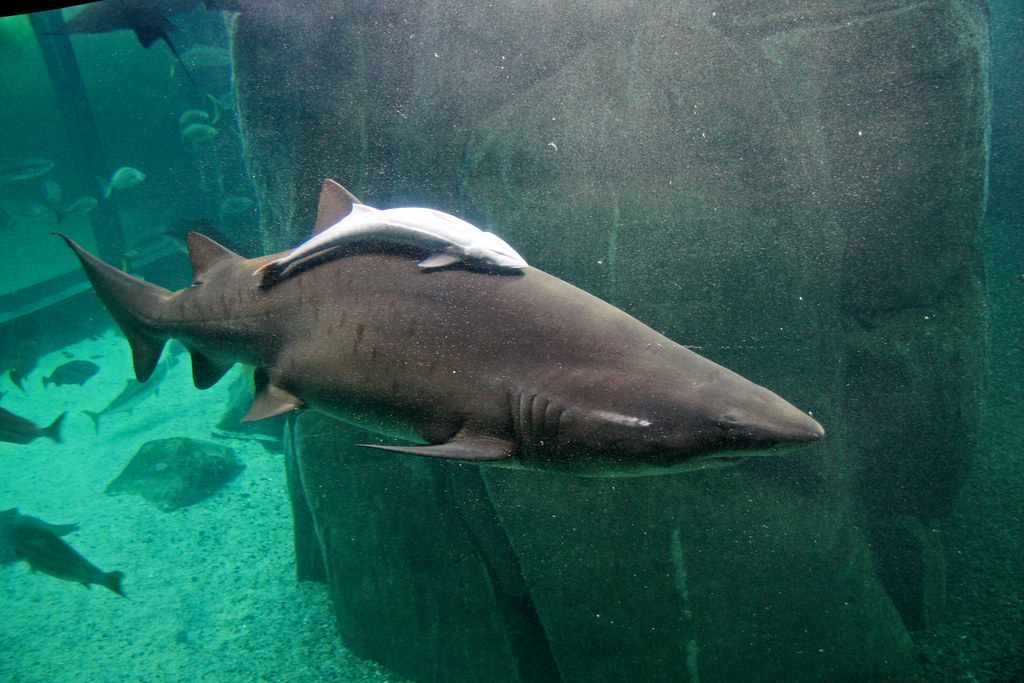 Remora & Shark - Commensalism Example